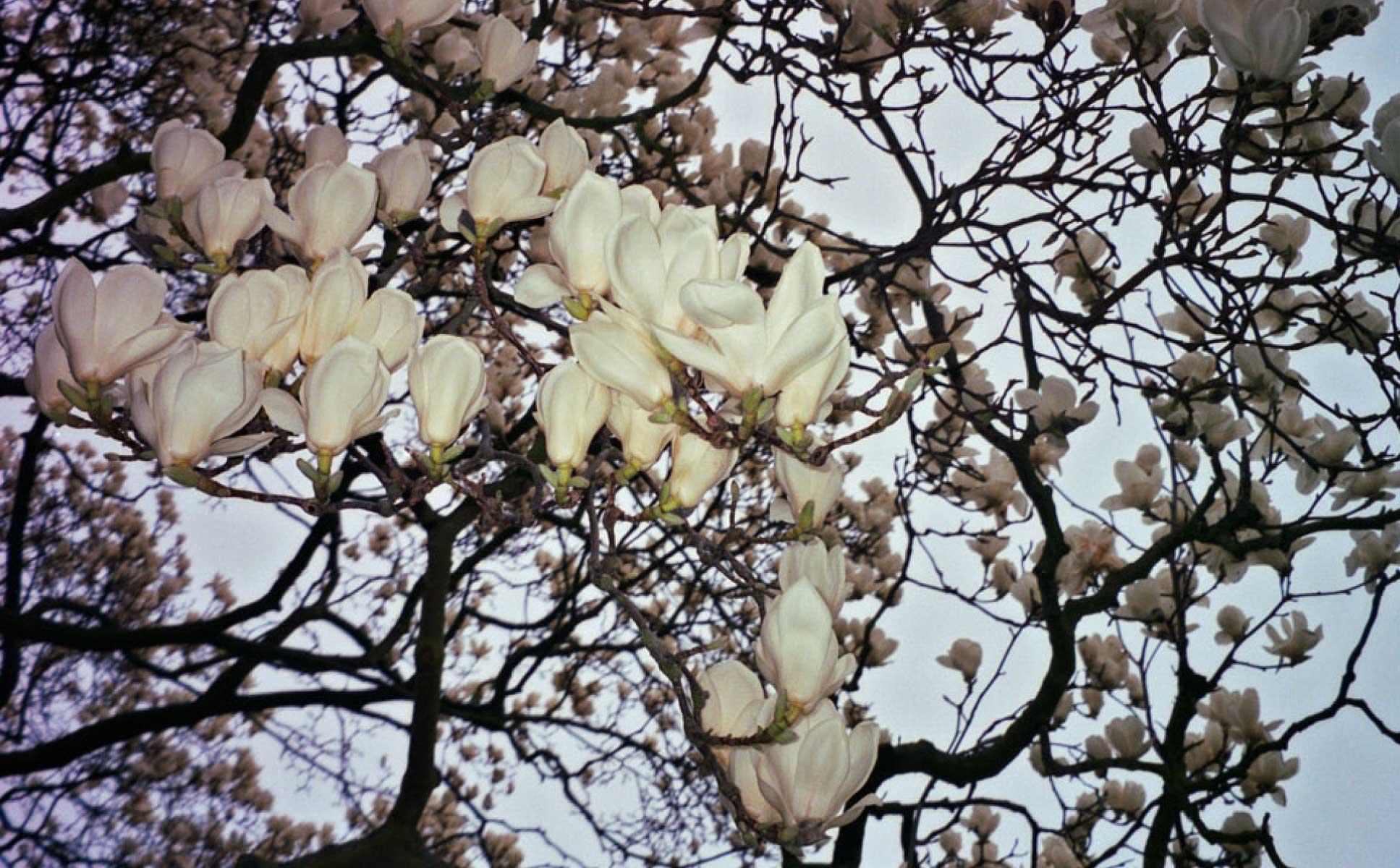 Magnolia 11