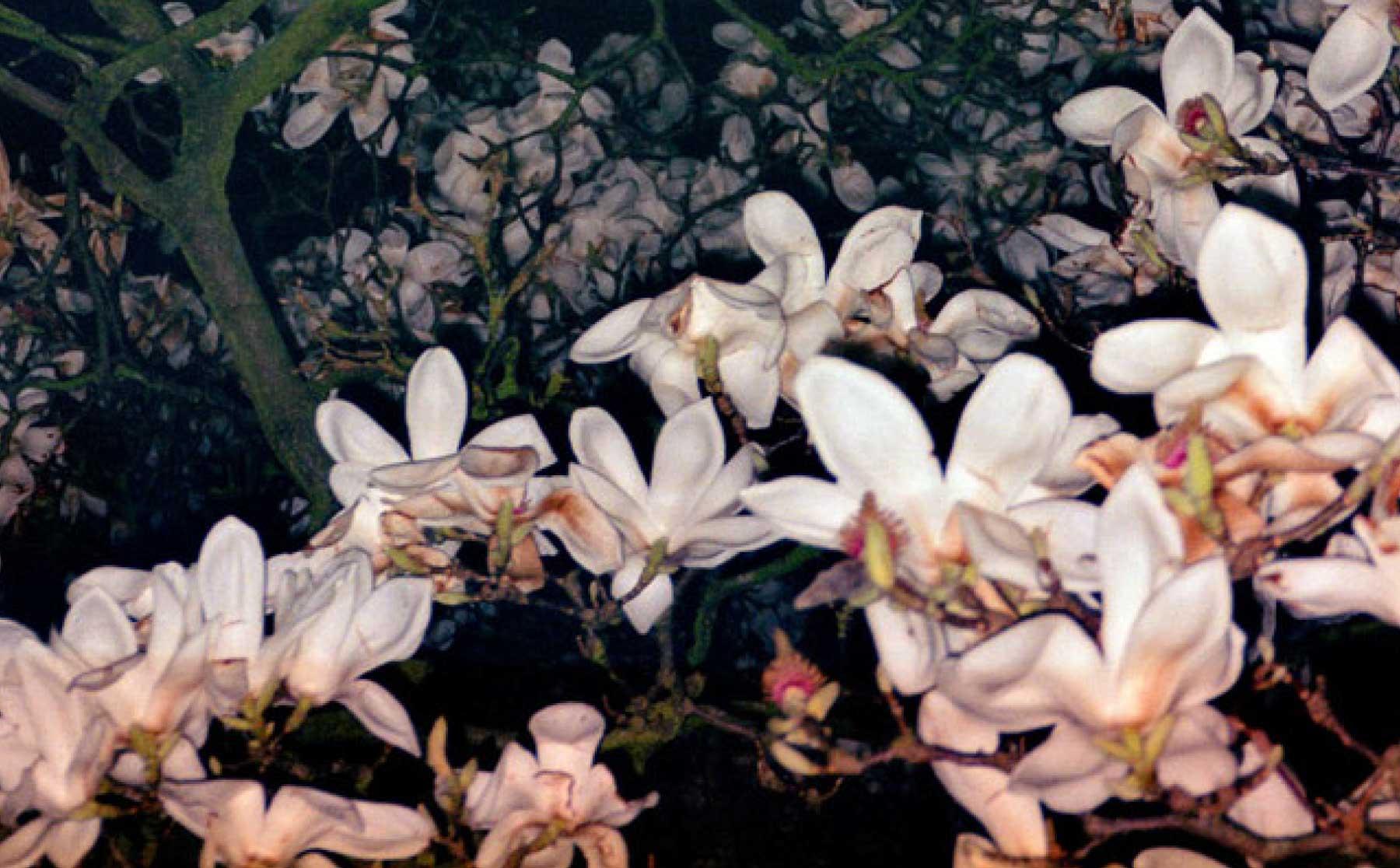 Magnolia 05
