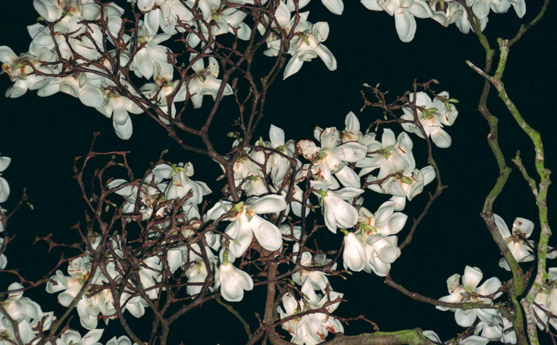 Magnolia 07